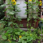 My monster Snack and Velvet Queen Sunflowers with Squash, Tomatoes and Flashback's at the base