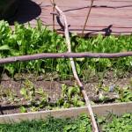 Golden Beets, Walla Walla Onions, Flashback Calendulas